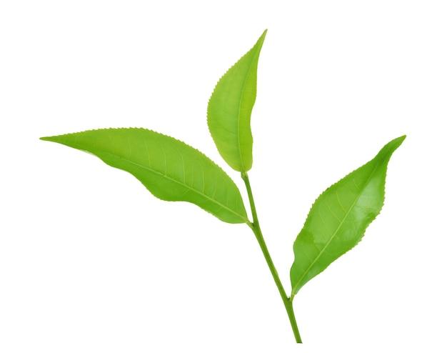Green tea leaf isolated