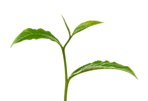 分離された緑茶葉