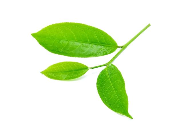 Лист зеленого чая с каплями воды, изолированные на белом фоне