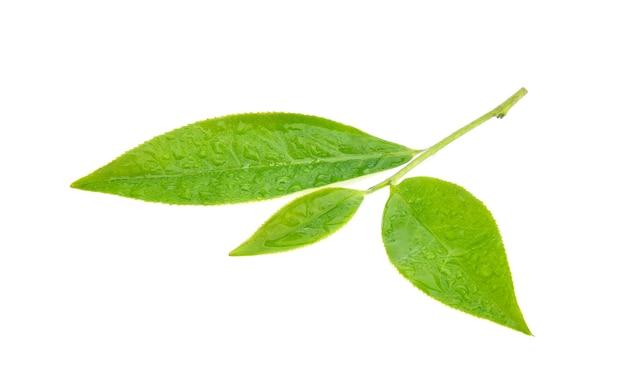 Лист зеленого чая с каплями воды на белом фоне.