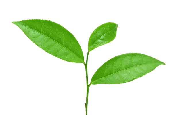 白い背景の上の水滴と緑茶の葉。