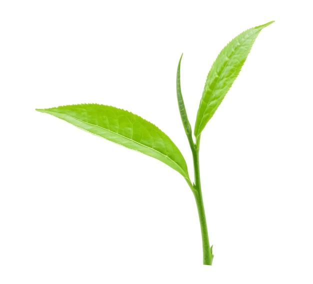 녹차 잎 격리