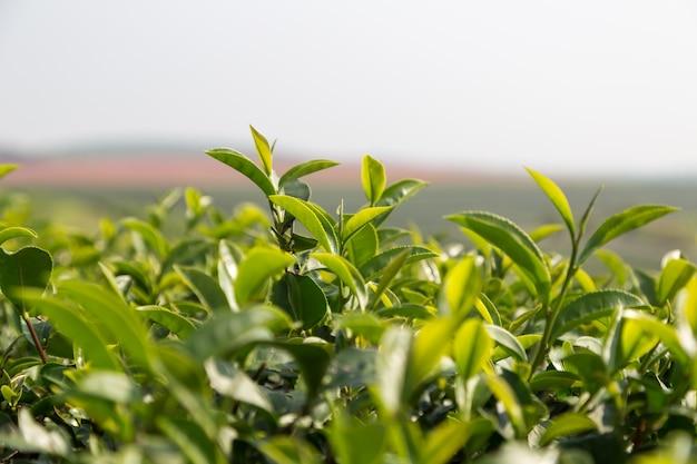 緑茶は畑に残す
