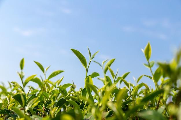 緑茶が青空の下の畑に残る