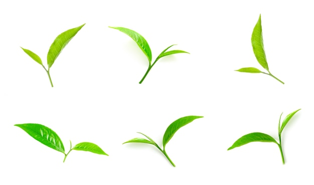 Green tea leaves collection isolated on white background