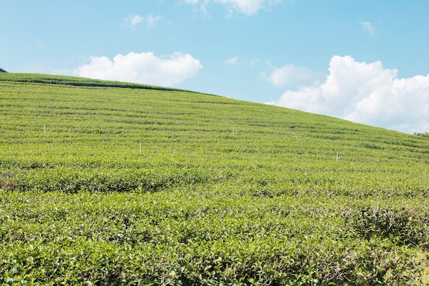 Green tea leaves and filed on blue sky