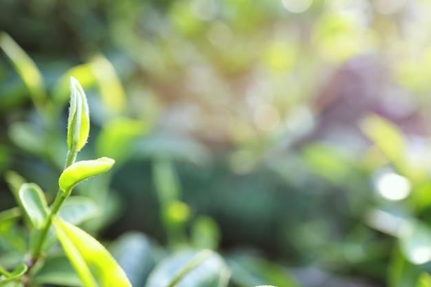 茶畑の緑茶の葉クローズアップ、朝の緑茶葉の上部