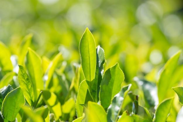 茶園の緑茶の葉
