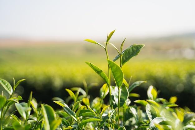 티팜 치앙 라이의 아침 녹차 잎