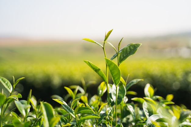 Green tea leaves in the morning at tea farm chiang rai