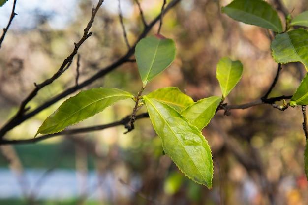 나뭇가지에 녹차 잎이 있고 배경이 흐릿합니다. 농장의 어린 찻잎, 이른 봄 중국
