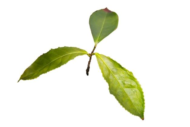 나뭇가지에 녹차 잎, 흰색 배경에 격리, 이른 봄 중국 농장에 있는 어린 찻잎