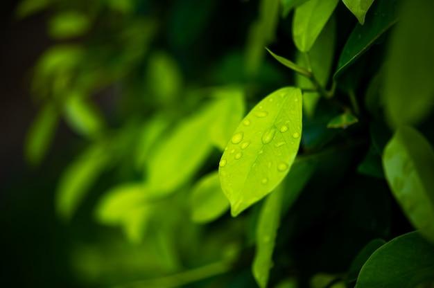 Листья зеленого чая, красивые молодые побеги