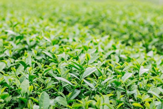 自然の背景に緑茶。