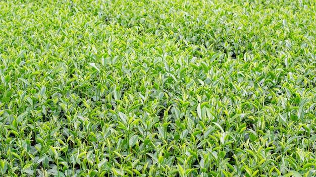Green tea plantation at chiang rai, thailand.