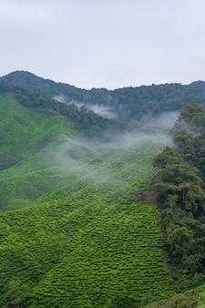 Плантации зеленого чая на холмах в высокогорье. лучший чай растет во влажном туманном климате высоко в горах.