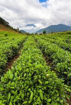 Green tea plantations landscape