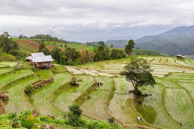 18581134d Green terraced rice field in pa pong pieng , mae chaem, chiang mai, thailand