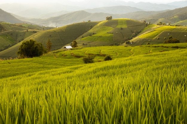 Green terraced rice field in pa pong pieng , mae chaem, chiang mai, thailand