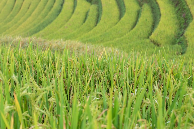 Green terraced rice fields at mu cang chai