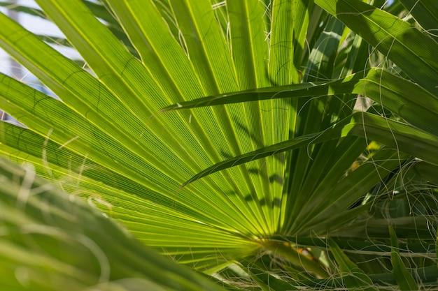 Green texture. palm green leaf. palm leaf texture under sun rays.