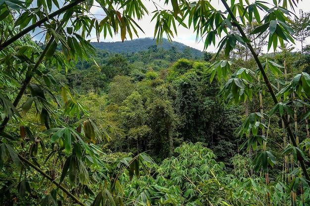 マレーシアの山々のジャングルの緑の茂み
