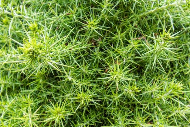 緑のとげのある茂みの背景写真。植物は背景を作りました。