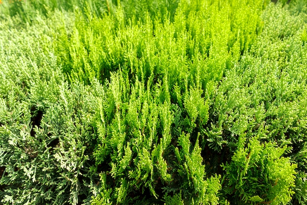 Green thuja branch top view background