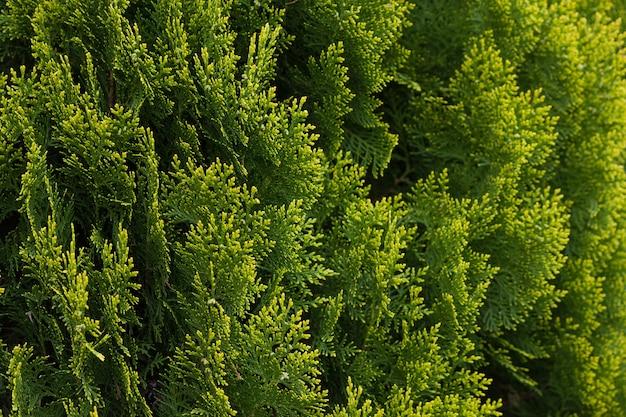 녹색 thuja 산울타리를 닫습니다. 자연 패턴 배경, 디자인에 대 한 질감입니다.