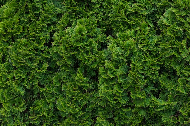 Green thuja hedgerow close up
