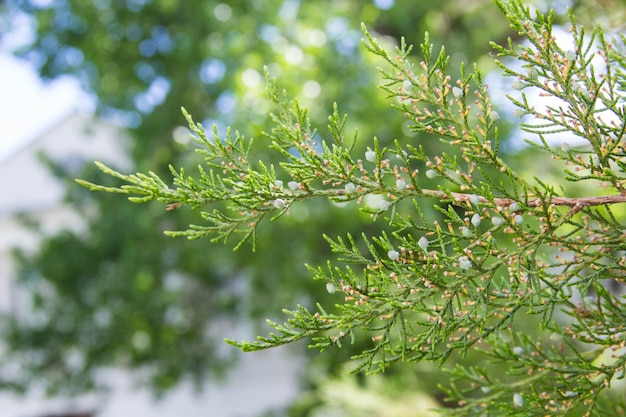 Green thuja tree branches as background image