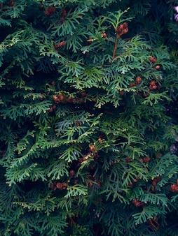 Green thuja tree branches