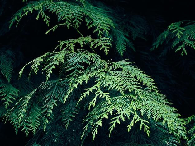Green thuja tree branches.