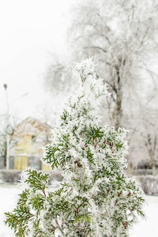 Green thuja tree in the park with snow.