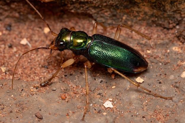Зеленый тигровый жук из рода tetracha