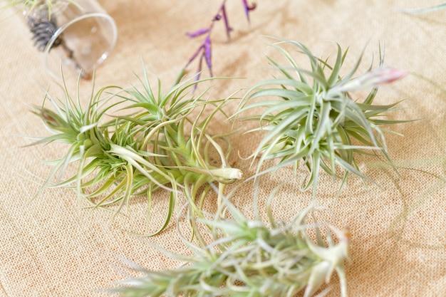 Зеленые воздушные растения тилландсия на естественном фоне