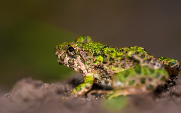 Green toad with rough skin