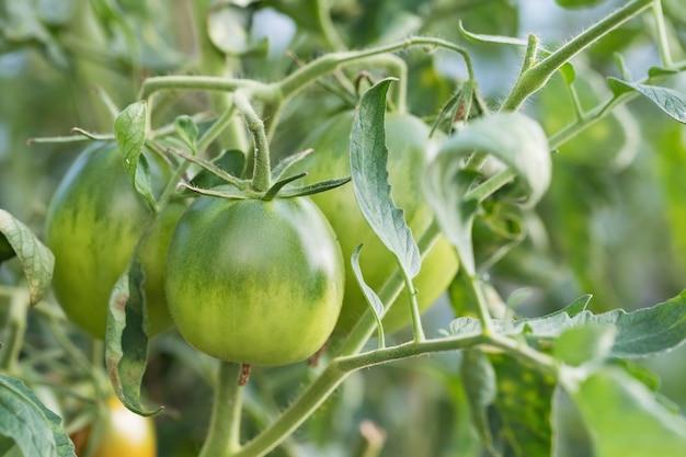 温室で育つグリーントマト、クローズアップ