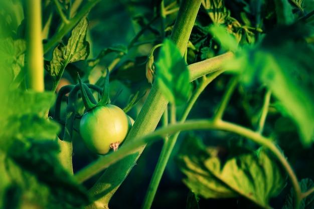 Зеленый помидор, растущий на ветке. огород, сельское хозяйство.