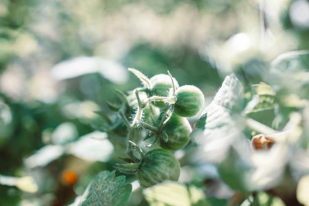 有機野菜の庭のクローズアップで育つ緑のトマト植物