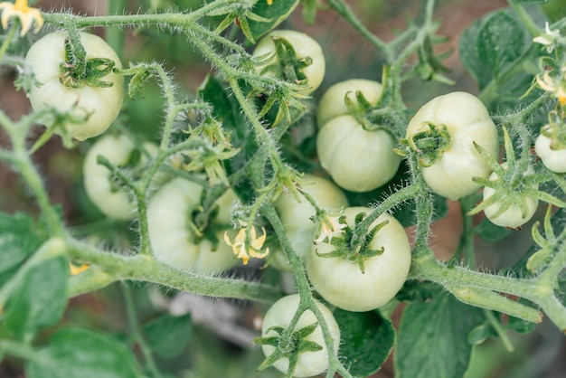 Green tomatoes on the branches. farmer's summer harvest in the garden.