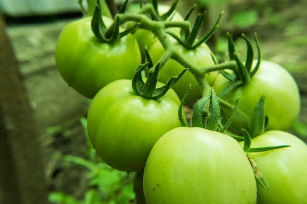 Green tomatoes on the farm close up