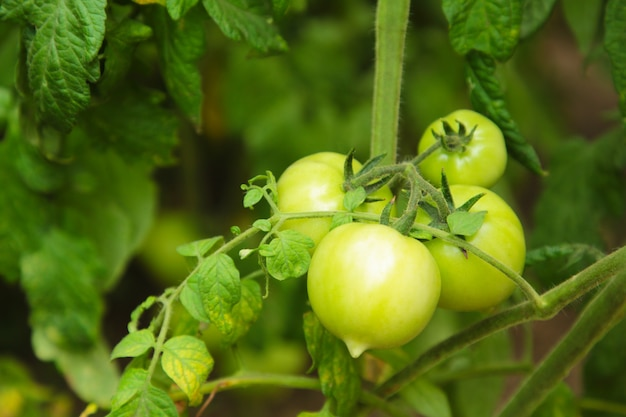 Green tomatoes growing on the branches.