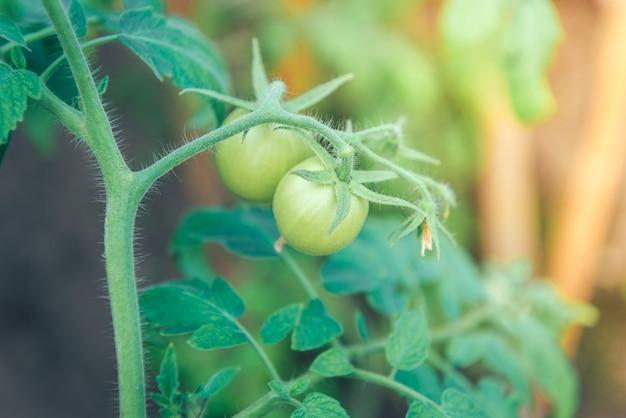 温室の枝で育つ緑のトマト。