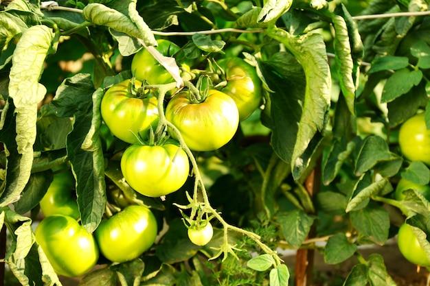 Зеленые помидоры, растущие на ветвях