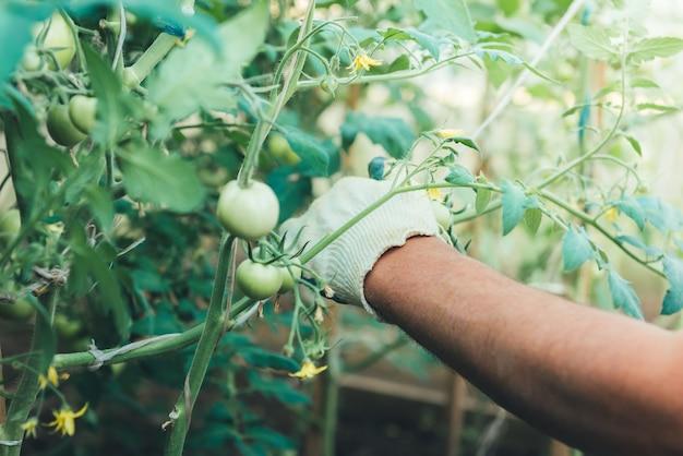 庭の緑のトマト。ペグに縛られた。庭師の手が温室でトマトを縛った。