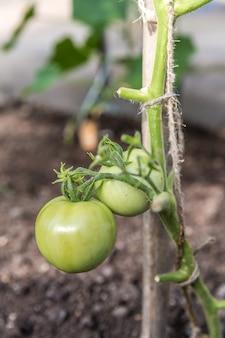 그린 토마토