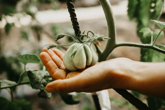 都会の菜園パッチで育つグリーントマト