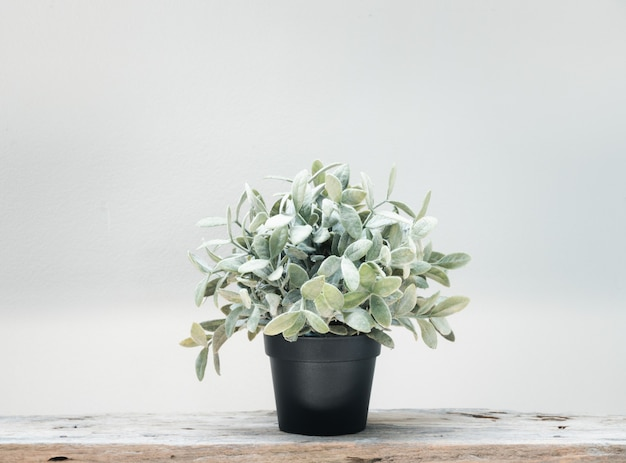 Green tree botanical tropical house plant in black pot on grunge wood floor and cement white wall