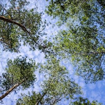 Зеленые ветки деревьев наверху против голубого неба, абстрактный фон